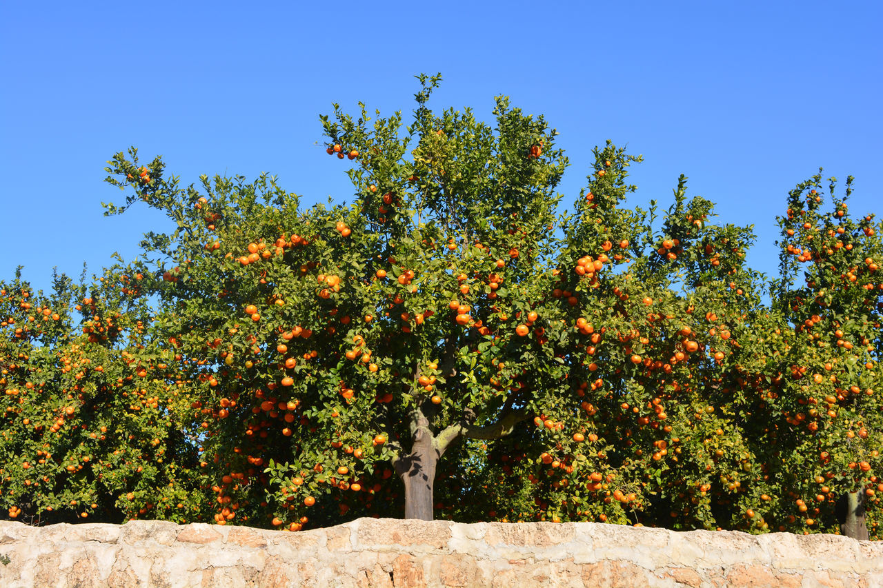 Orange orchard, trees laden with ripe fruit ready for harvest. Abundance Agriculture Beauty In Nature Blue Citrus Fruit Close-up Day Fruit Growth Mandarins Nature No People Orange Color Orange Orchard Oranges Growing On The Tree Orchard Outdoors Plenty Sky Tree