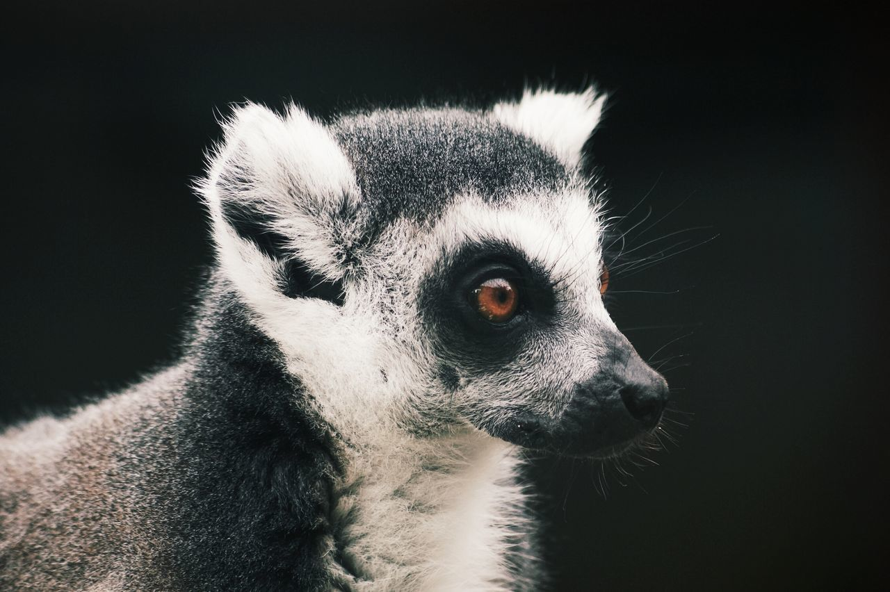 Monochrome Photography One Animal Animals In The Wild Wildlife Close-up Looking Away Lemur Mammal Alertness Zoology Beauty Growth Lovely Freshness Valley Beauty In Nature Idyllic Animal Themes Noerthern Ireland Domestic Animals Nature Relaxation Personal Perspective Lovely Pet Majestic