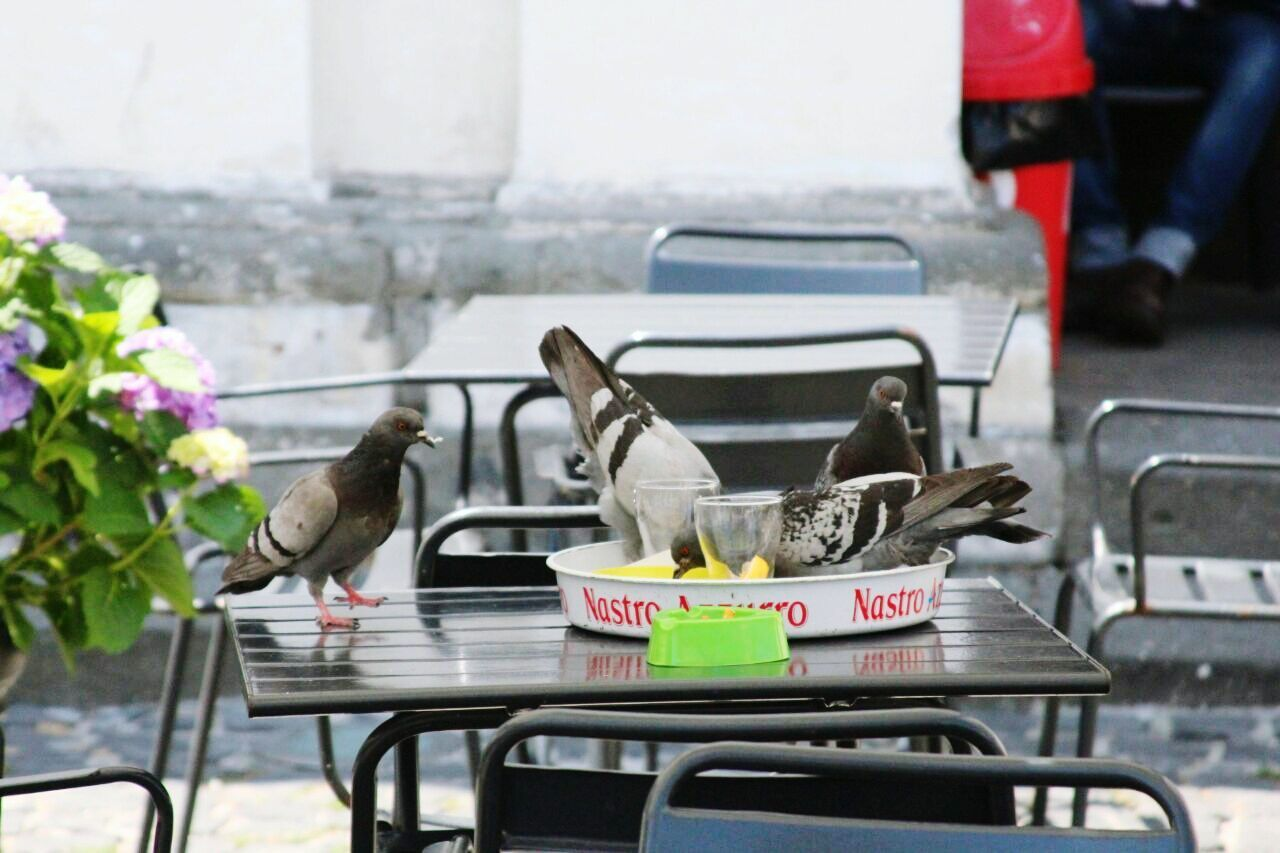animal themes, chair, day, animals in the wild, one animal, bird, animal wildlife, table, outdoors, no people