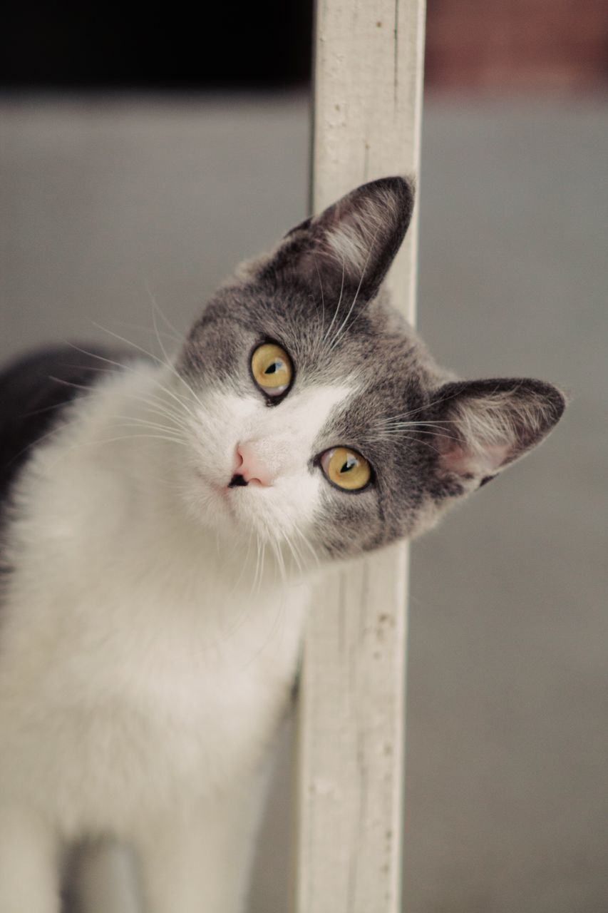 domestic cat, pets, domestic animals, one animal, animal themes, mammal, feline, looking at camera, portrait, whisker, indoors, focus on foreground, no people, close-up, day