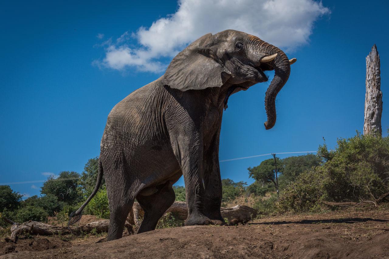 Beautiful stock photos of elefant, Animal Themes, Animal Wildlife, Animals In The Wild, Blue