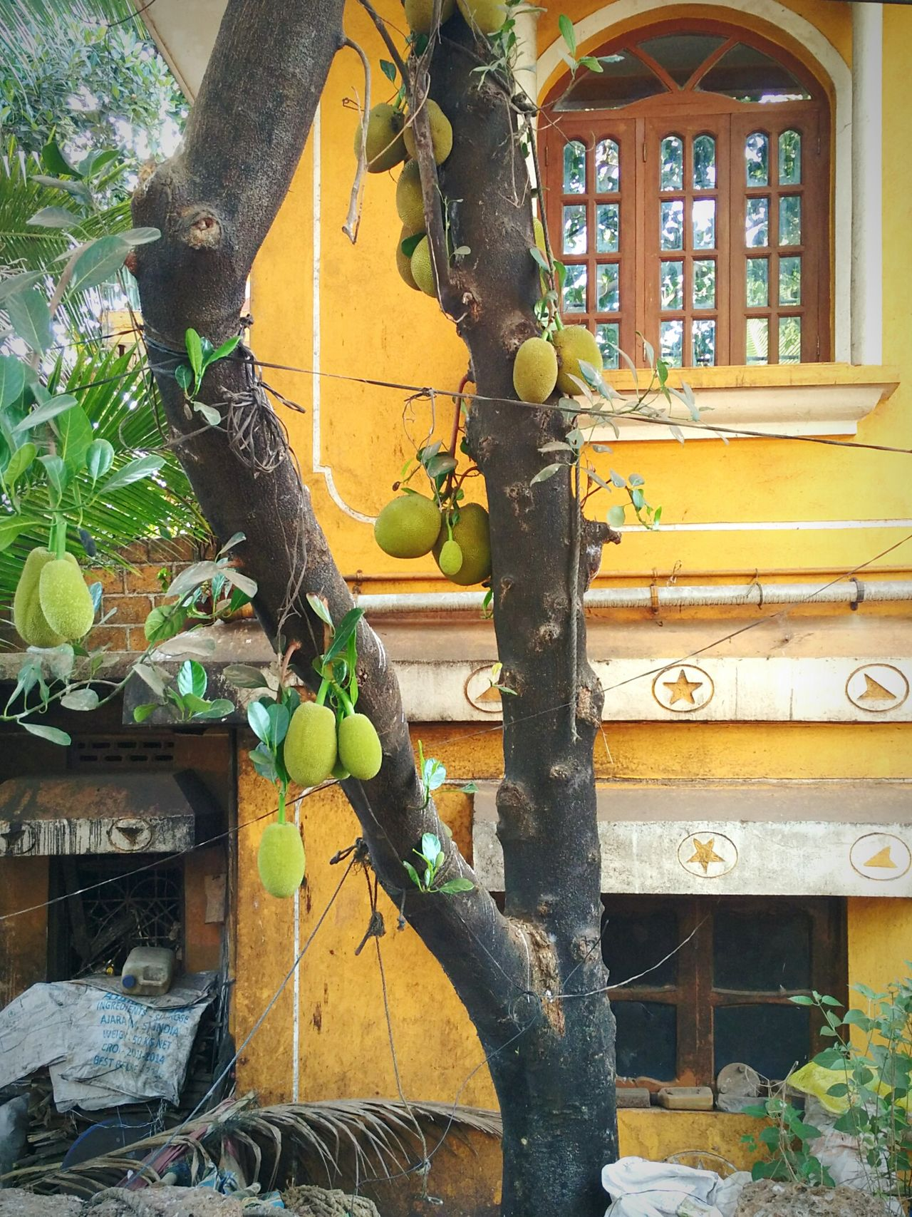Jackfruit (panas) tree in front of an old Portuguese house in Goa. Jackfruit Jackfruits Panas Rasaal Jackfruit Tree Old Old House Portuguese Architecture Goan Portuguese Goa Traditional Goan Culture Façade Street Photography Salcette Goenkar Weathered Building Exterior Typical Houses Typical Goa Tourism Go Goa Ponsul Portugese