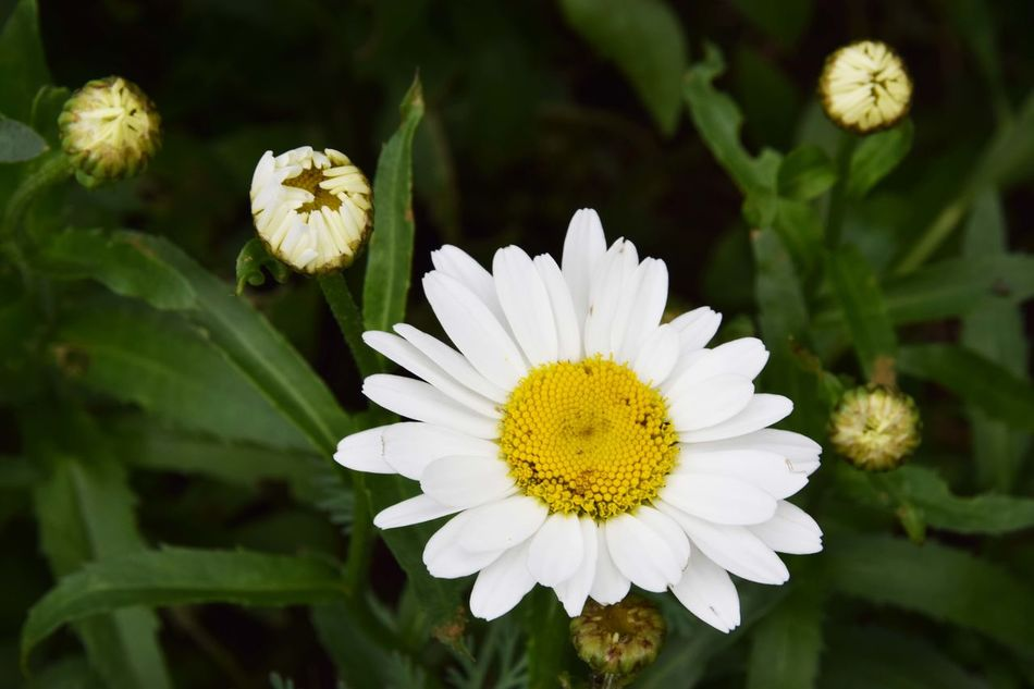 The first one Beauty In Nature Blooming Blossom Close-up Flower Flower Head Focus On Foreground Fragility Freshness Growth Margarite Margarites Nature Petal Plant White White Color