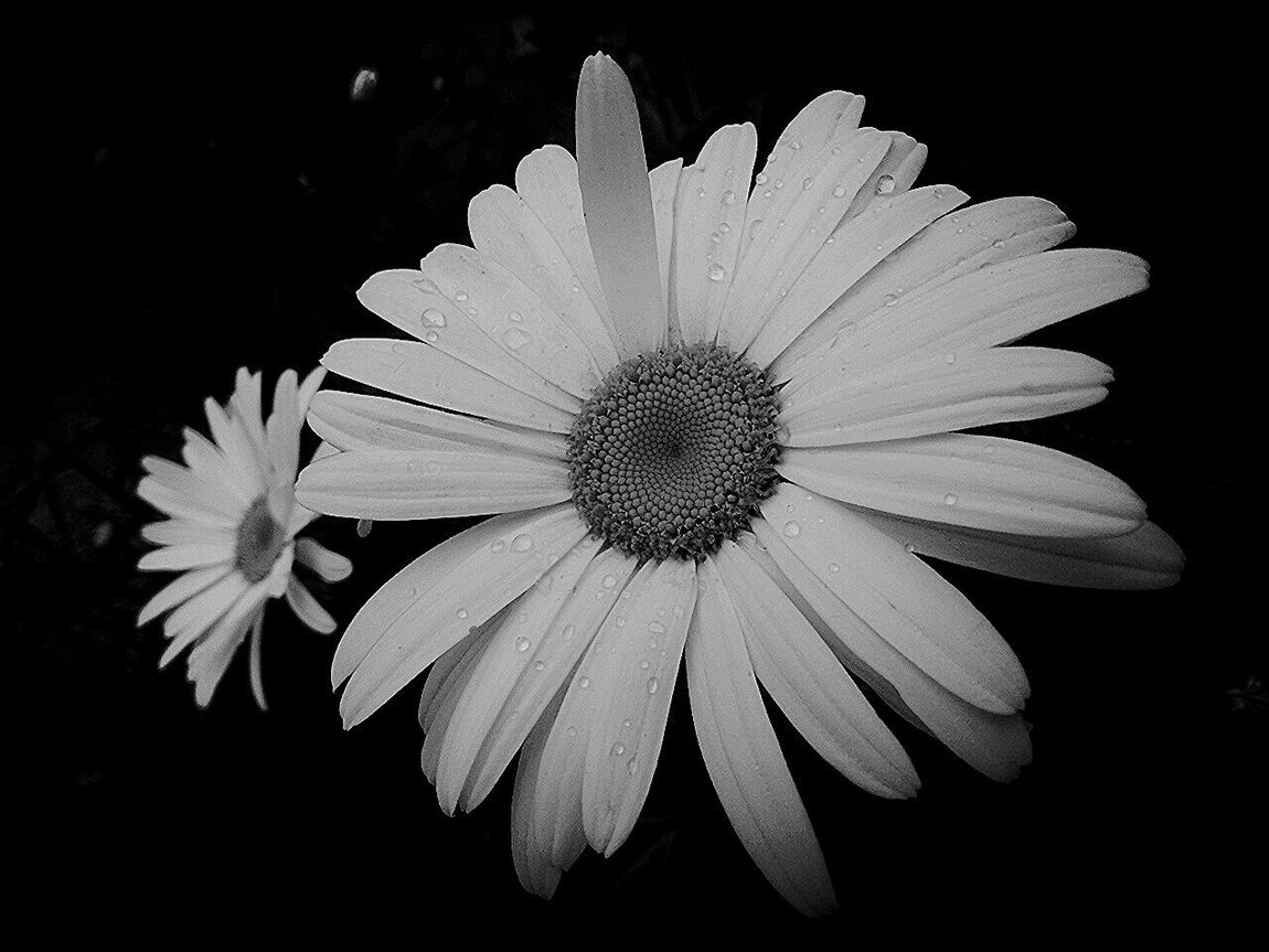 Flower Nature Petal Beauty In Nature Poetic Natural Beauty Beauty In Nature Passion Love Naturelovers Poetry In Pictures Poetry Natureart EyeEm Nature Lover Photography Blackandwhite Daisies Visions Beauty Passion Flower Soul Nature Caresses Flowers No People