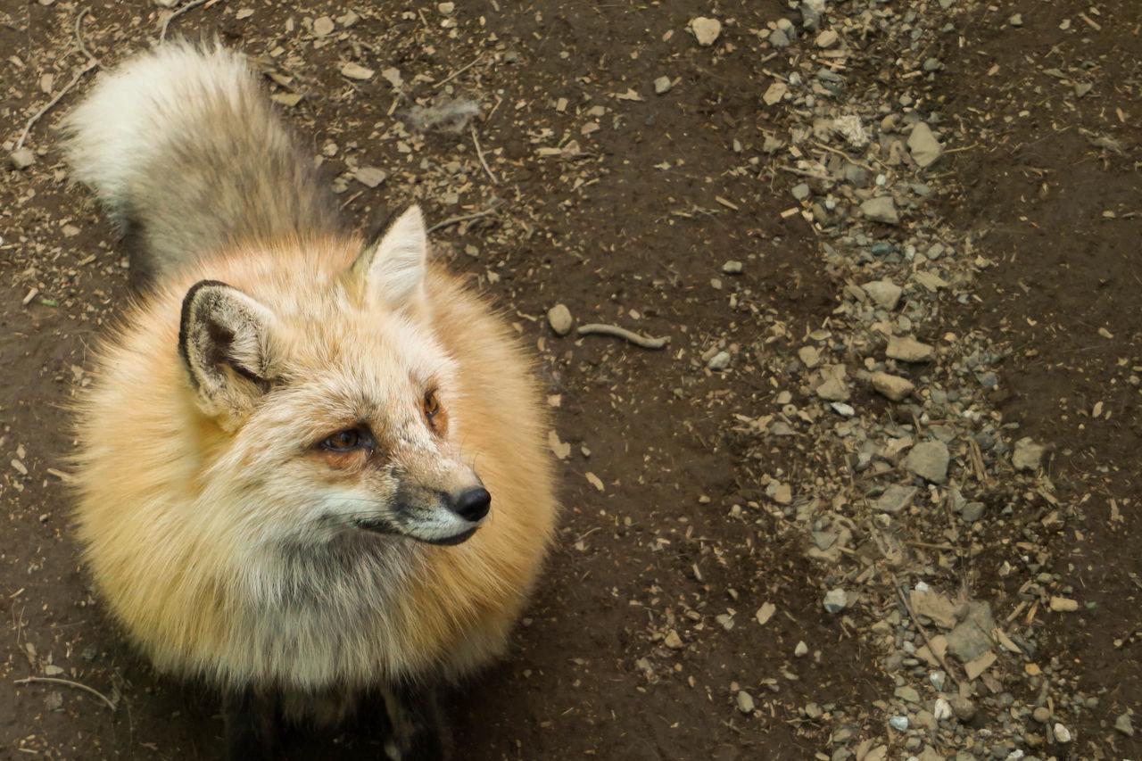 Japan Miyagi ZaoFoxVillage Fox Foxes Animals