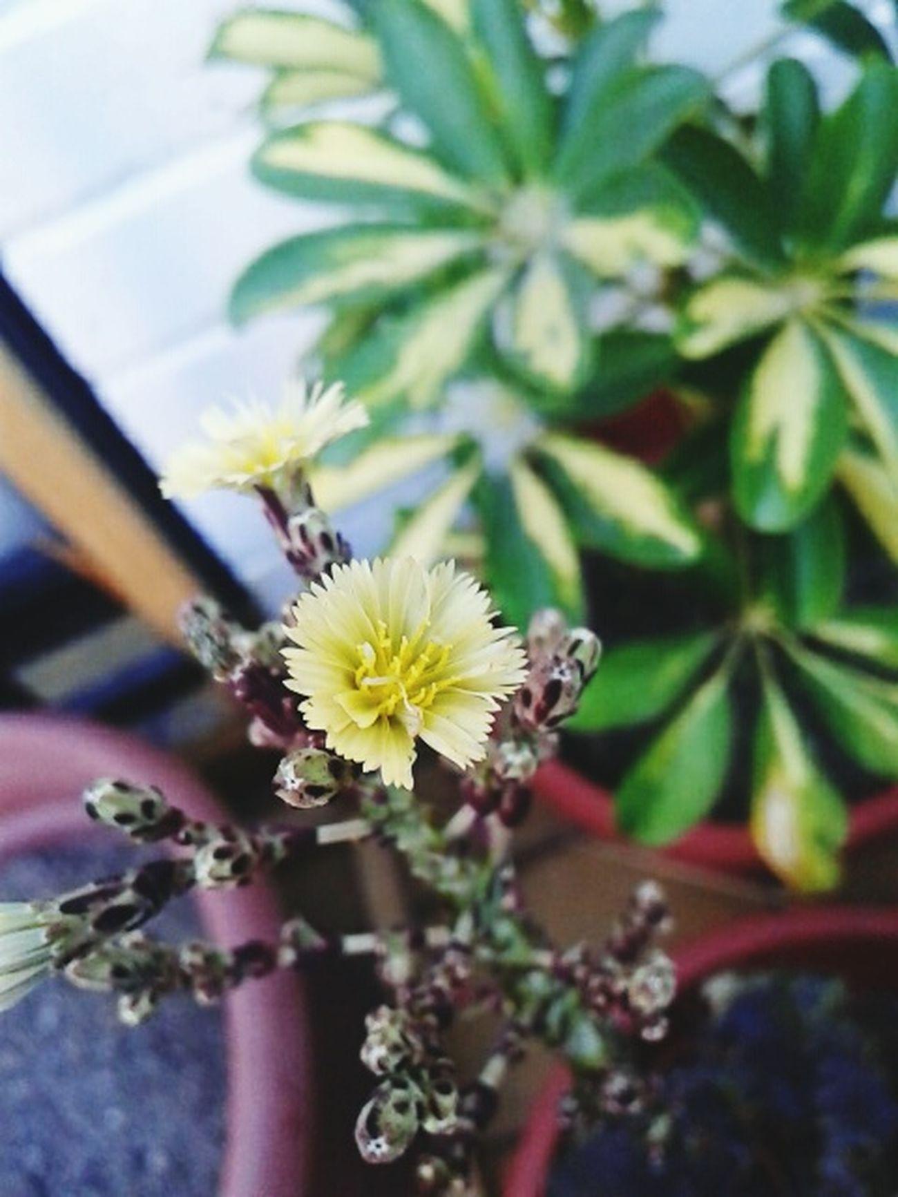 Agronomy Agronomia Nature Flowers Lechuga Letuce Chile Green