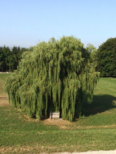 Old Willow Willow Tree Nature Austria Austria ❤ Mauthausen Beautiful Beautiful Nature Green Blue Sky