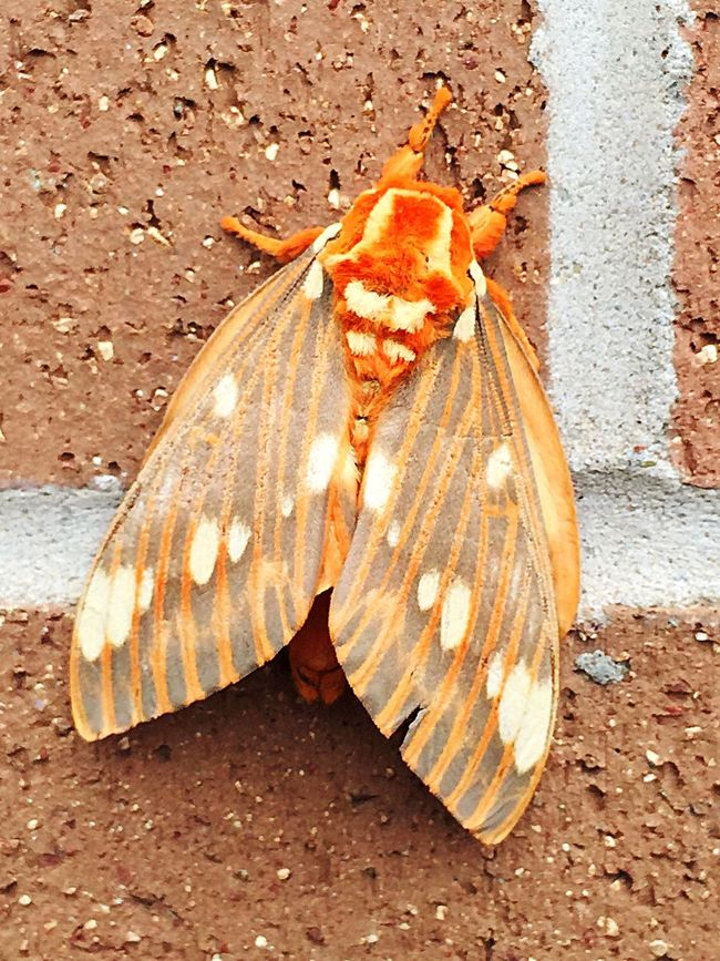 Giant Moth Mothra  Wall Insects  Bugs Brick IPhoneography Iphonephotography IPhone Photography Nature