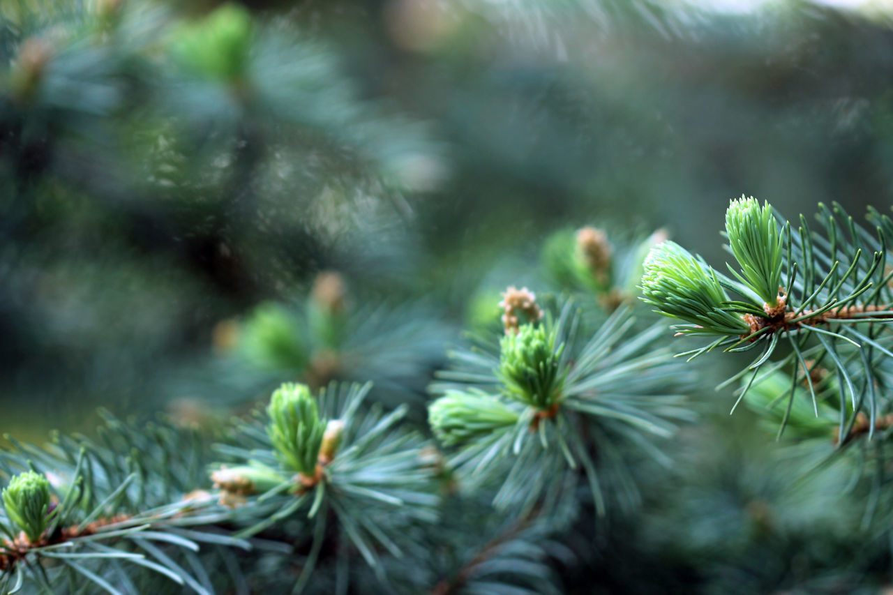 Blue Spruce Beauty Beauty In Nature Bokeh Christmas Trewe Close-up Colorado Blue Spruce Coniferous Tree Copy Space Day Evergreen Focus On Foreground Forest Frame Fresh Garden Green Color Growth Nature No People Outdoors Scenics Spring Sunlight Tree Woods