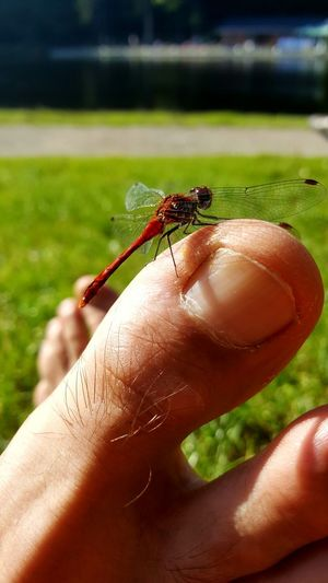 Dragonfly Insect Part Of Focus On Foreground Toes Toe Close-up Red Outdoors Day Germany Deininger Weiher Samsung Galaxy S6