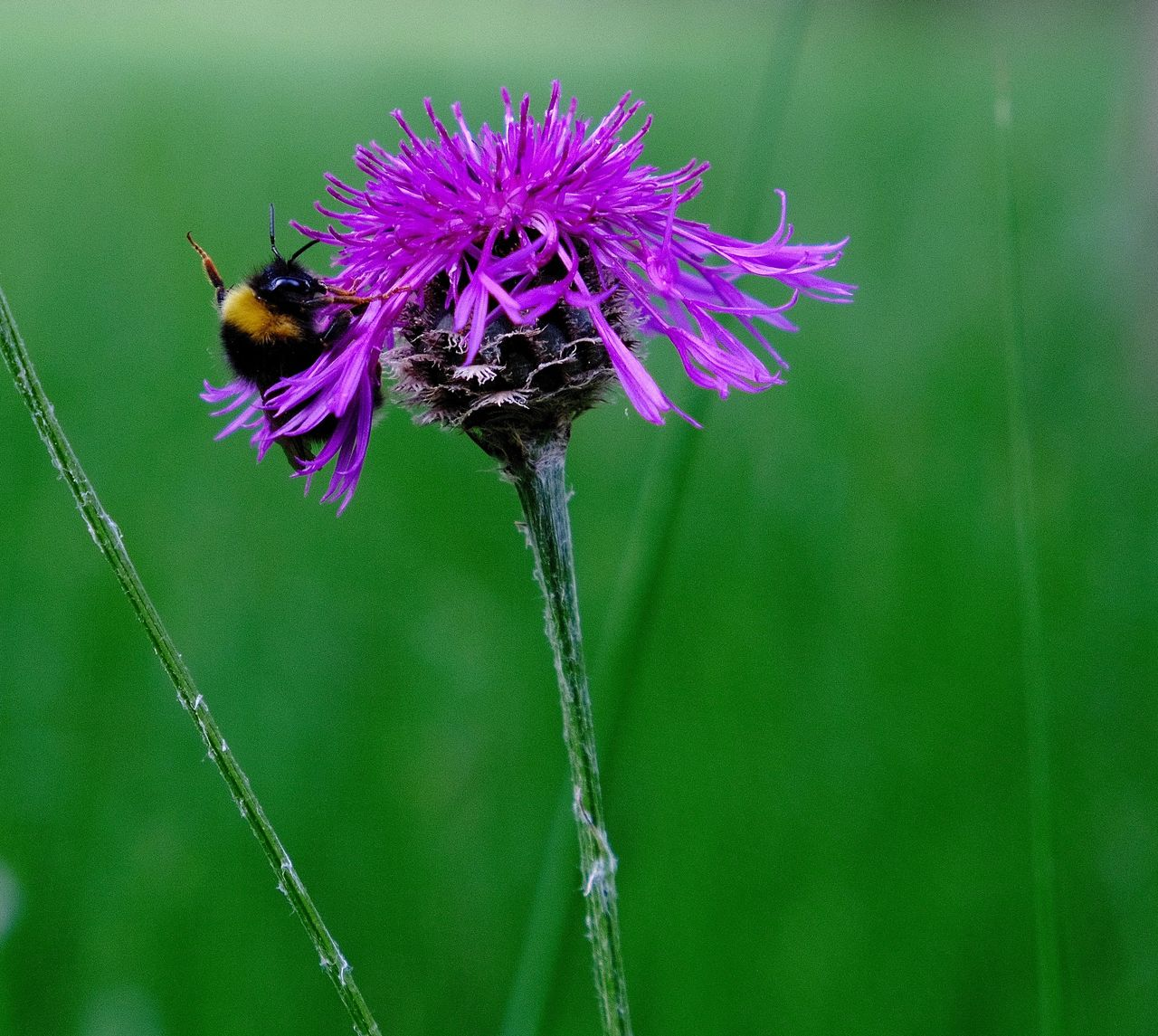 Blooming Bummblebee Flower Flower Head Focus On Foreground Fragility Freshness Insect Nature Pollination Purple