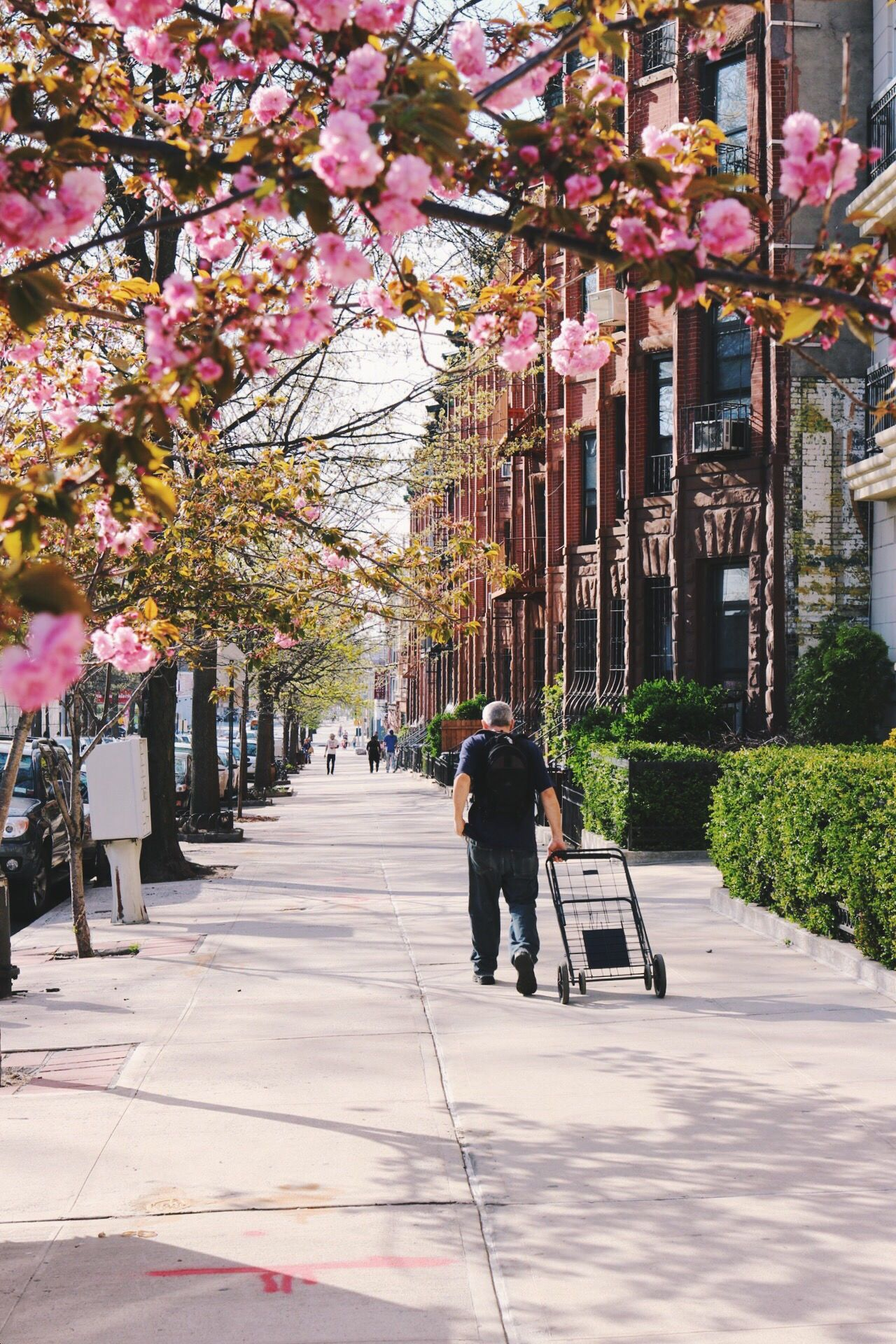 Full bloom. Cherry Blossoms Street Photography Street Life Spring Spring Flowers Streets Of New York Cityscapes Park Slope Brooklyn Blooming Pink Flower