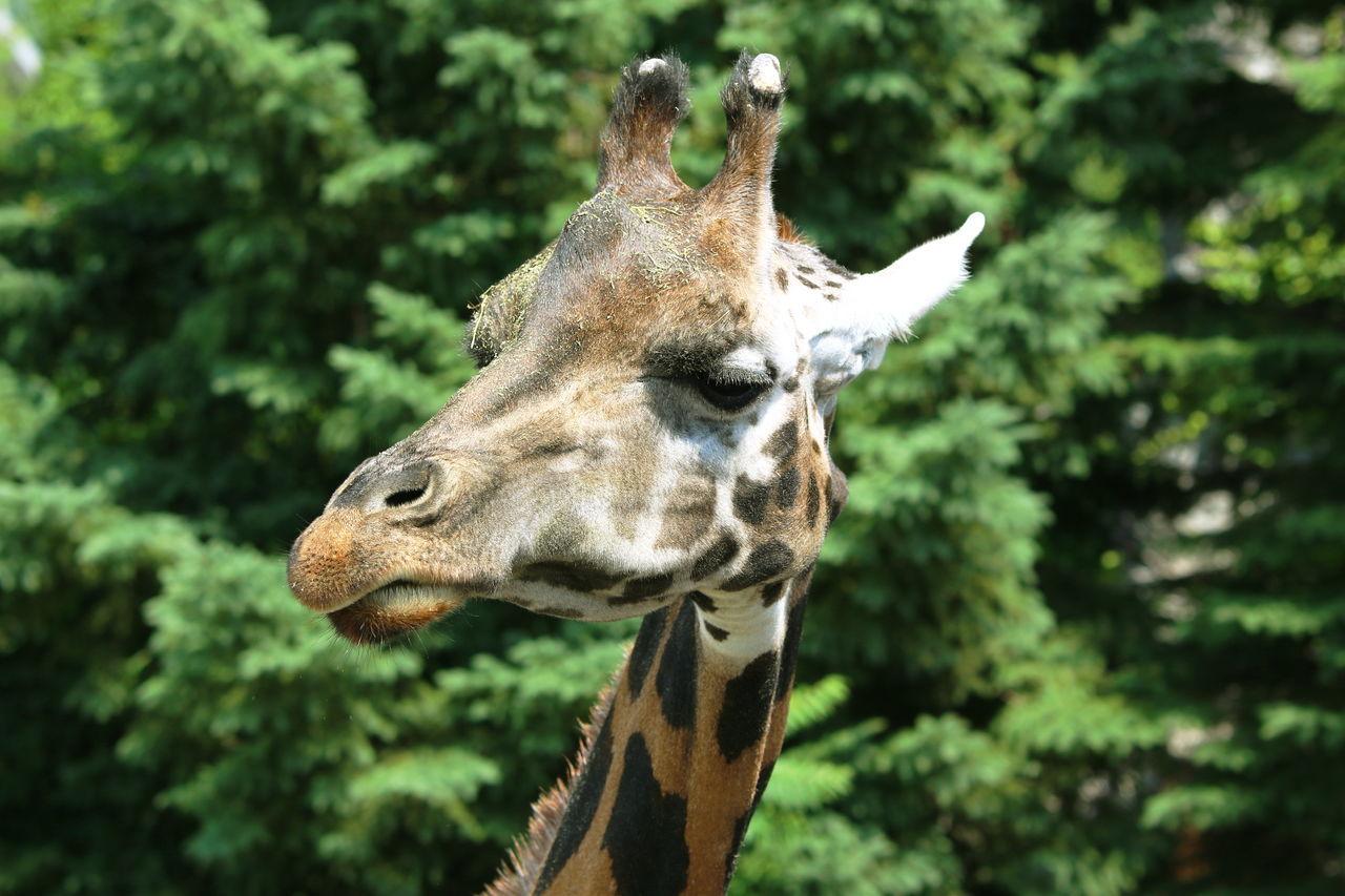 Animal Themes Animal Wildlife Animals In The Wild Antler Close-up Day Giraffe Nature One Animal Portrait Safari Wildlife