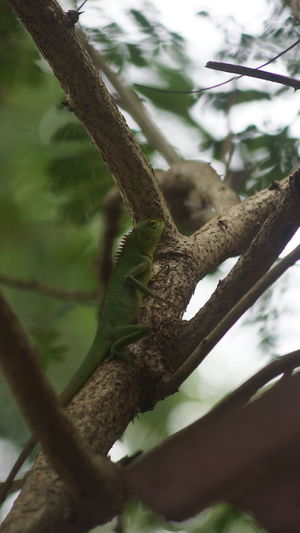 Agamid Calotes Calotes Camouflage Green Forest Lizard Lizard Reptile Tree Trunk Wildlife