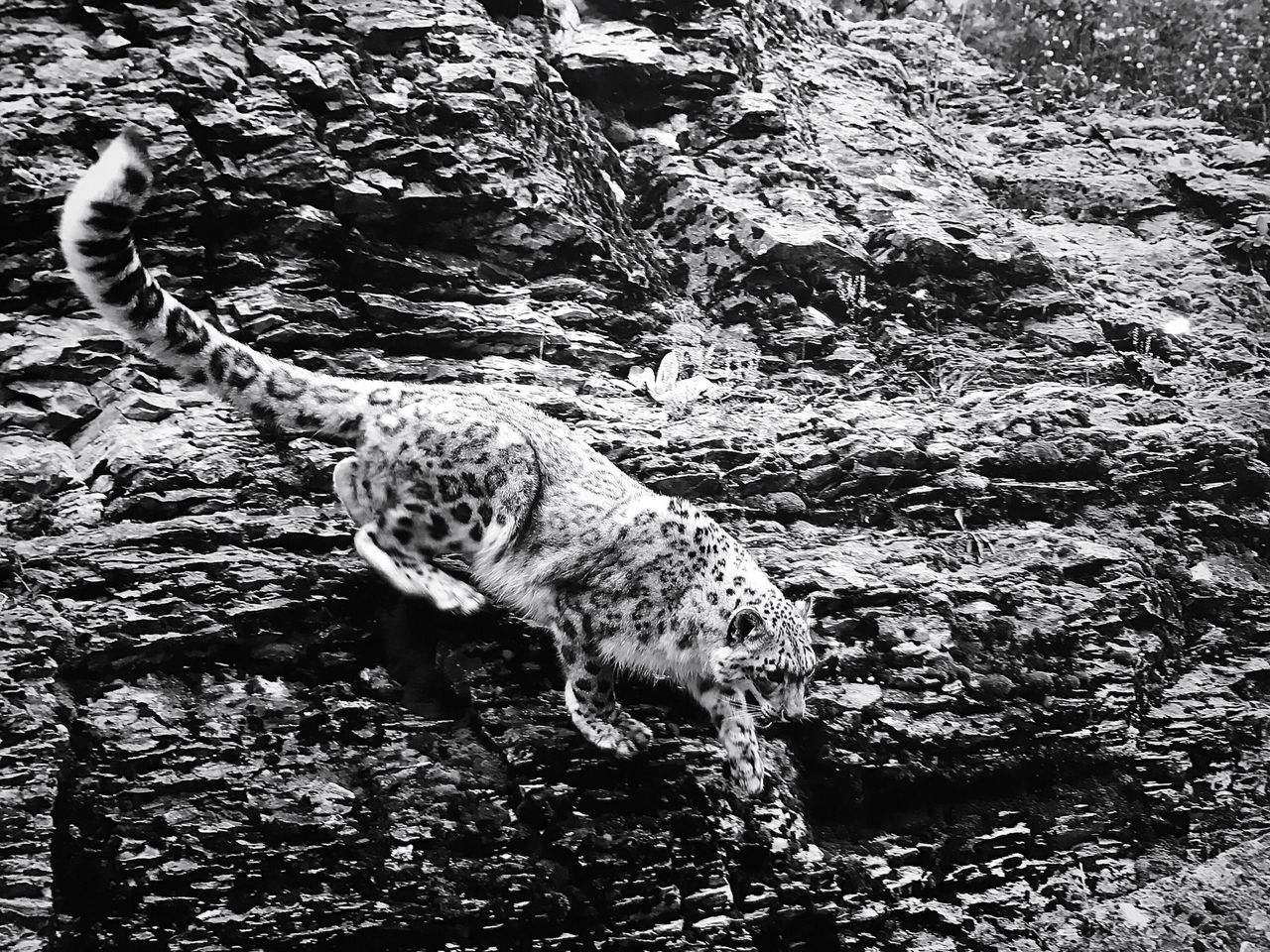 """Going down"" snow leopard heading down rock face Panther Bw Photography Bw Endangered Animals Snow Leopard Animal Wildlife Wildlife & Nature Cat Feline Big Cats Beauty In Nature Outdoor Photography Day Leopard No People Outdoors Nature Mammal Animal Themes One Animal Mammals Animal Photography Wildlife Photography Bw Photo Rock"