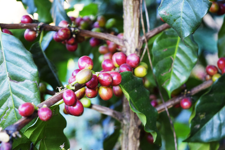 Beauty In Nature Branch Close-up Day Focus On Foreground Food Food And Drink Freshness Fruit Green Color Growing Growth Healthy Eating Leaf Nature No People Outdoors Plant Raw Coffee Bean Red Tree
