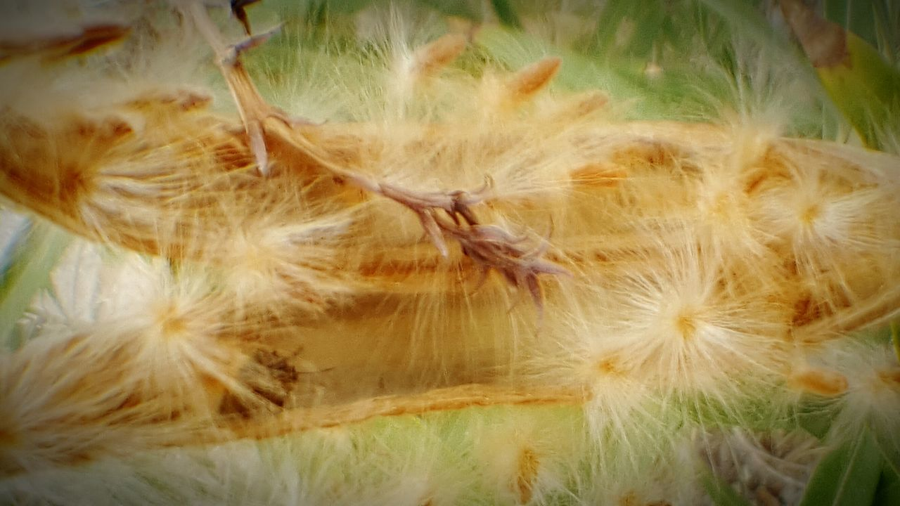 Growth Nature Outdoors Seeds Seed Pod Seed Heads Seeds Flower