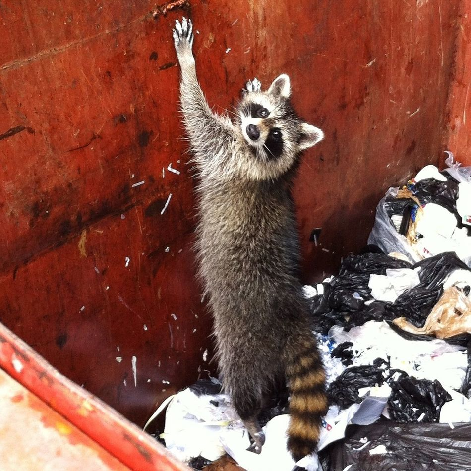 Beautiful stock photos of raccoon, NULL