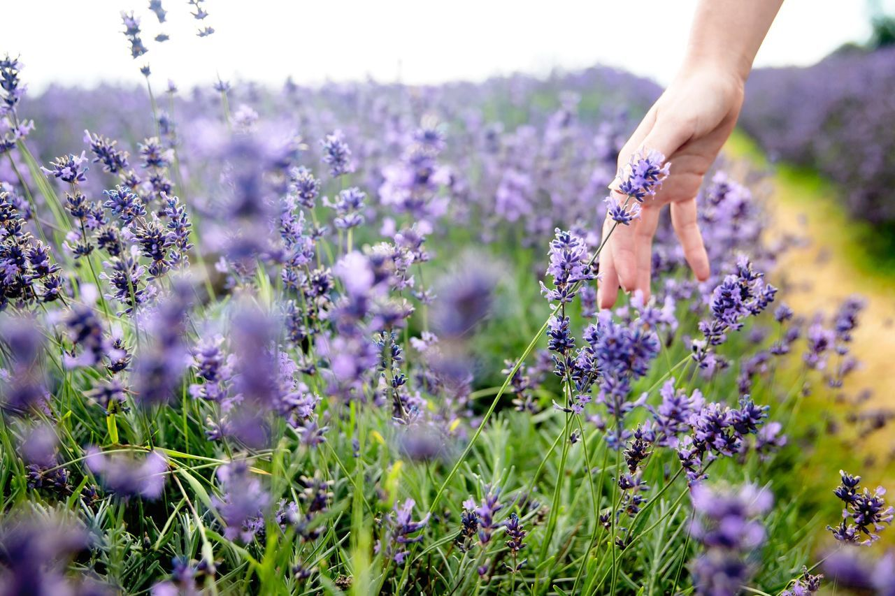 Human Body Part Flower One Person One Man Only Human Hand Purple Growth Only Men Adult Lavender Mid Adult Men Adults Only Mid Adult Field Nature People Outdoors Scented Plant Men The Great Outdoors - 2017 EyeEm Awards London