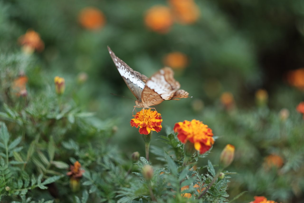 Animal Themes Animal Wildlife Animals In The Wild Beauty In Nature Butterfly Butterfly - Insect Close-up Day Flower Flower Head Fragility Freshness Growth Insect Lantana Camara Nature No People One Animal Outdoors Plant Pollination Spread Wings
