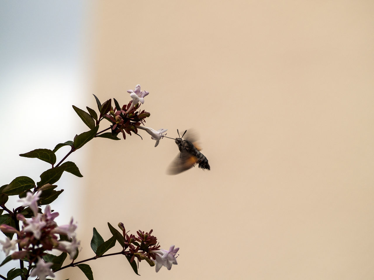 Animal Themes Animals In The Wild Beauty In Nature Close-up Day Flower Fragility Freshness Growth Hummingbird Hummingbird Hawk-moth Hummingbird Hawkmoth Insect Macroglossum Macroglossum Stellatarum Nature Nature Nectar No People One Animal Outdoors Pollen Pollination Pollinators Wildlife