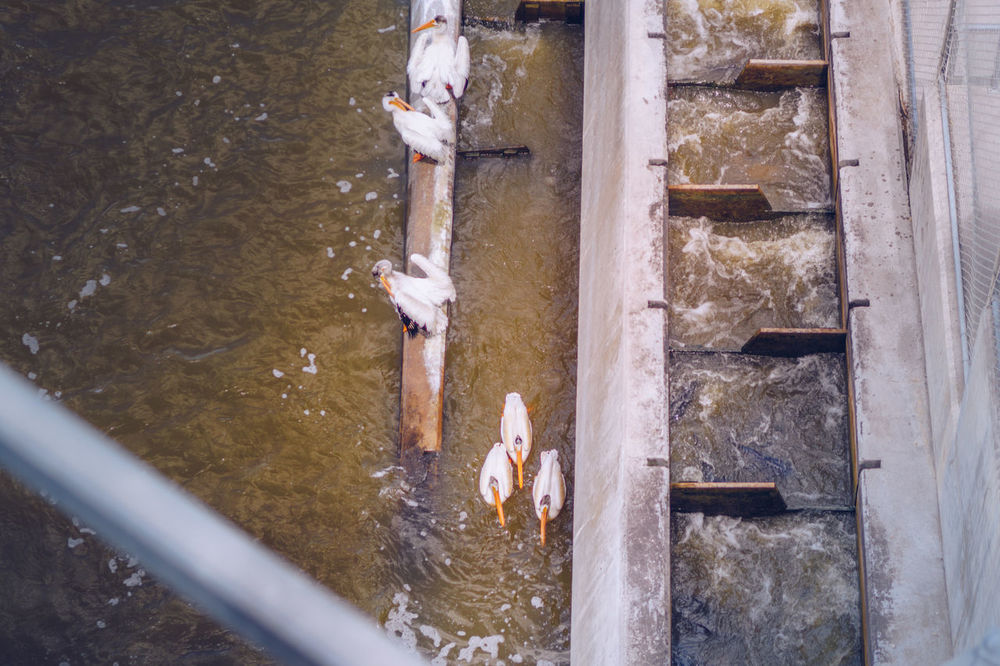 Pelicans feeding from fish ladder in Lockport, Manitoba American White Pelican Animal Themes Animals In The Wild Day Feeding  Fish Fish Ladder High Angle View Hydroelectric Power Lockport Mammal Manitoba Nature Outdoors Pelican Real People Water Wildlife