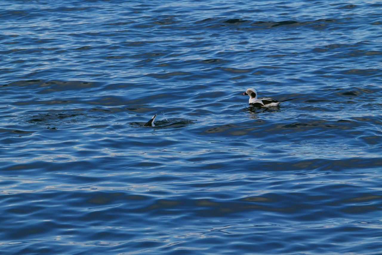 Long-tailed ducks in Avacha Bay, Kamchatka Diving Animal Themes Animal Wildlife Animals In The Wild Bird Day Duck Kamchatkalife Long-tailed Duck Nature No People Outdoors Sea Swimming Two Animals Water Water Bird Waterfront Waves, Ocean, Nature Young Animal