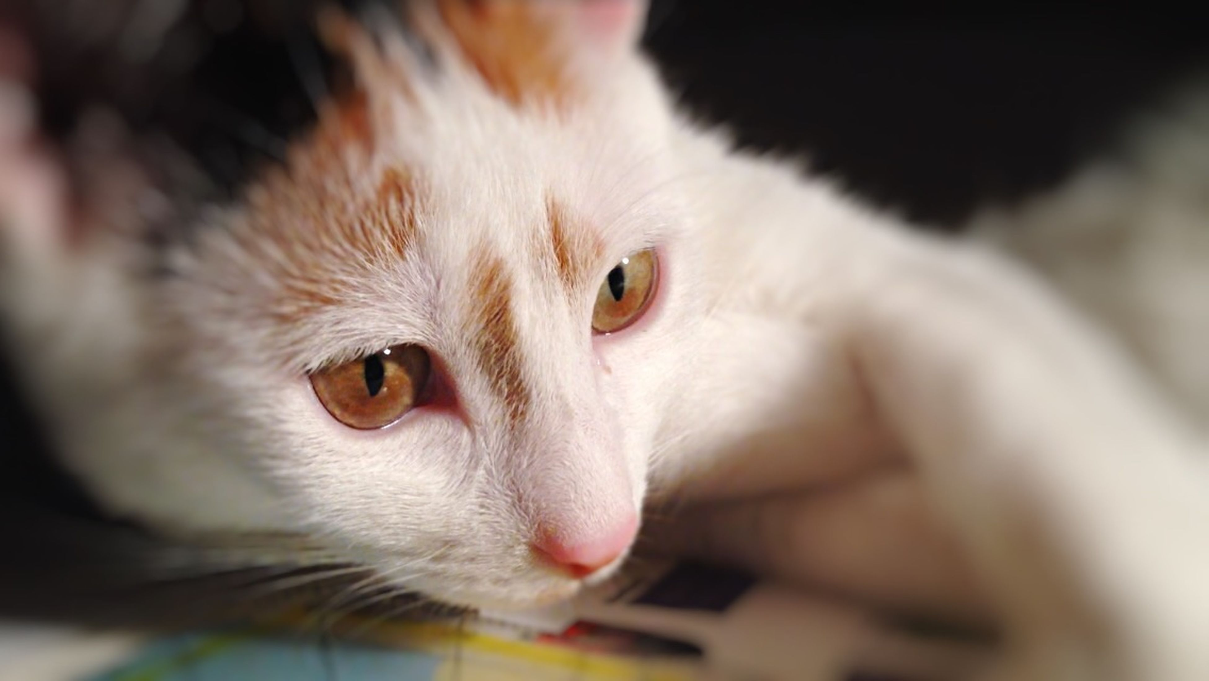 animal themes, pets, one animal, domestic cat, domestic animals, cat, mammal, portrait, feline, whisker, looking at camera, close-up, indoors, animal head, focus on foreground, alertness, animal eye, selective focus, staring