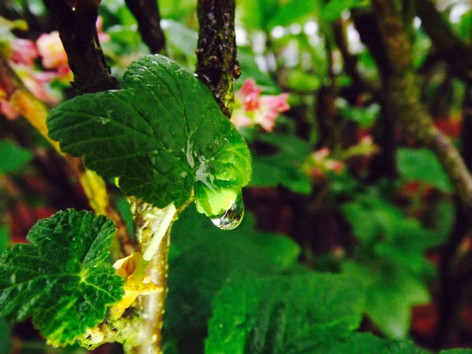 Leaf Growth Green Color Nature Plant Beauty In Nature Close-up Outdoors Macro Photoghraphy Rain Drops On Leaves Water Drop RainDrop Rain Drop Wet Nature Photography Rain Macro Photography Macro Rain Drops Rainy Days EyeEmNewHere