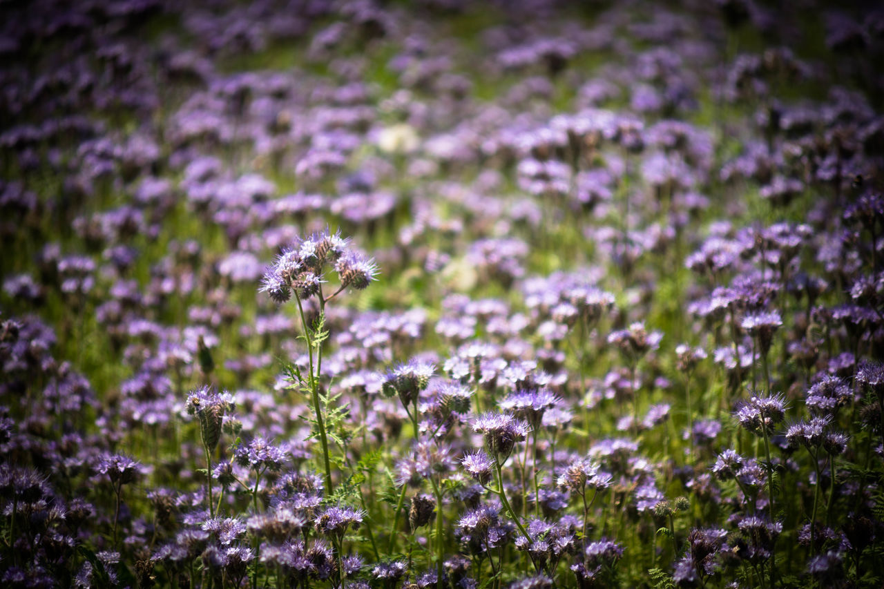 Freshness Flower Purple Insect Fragility Lavender Nature Beauty In Nature No People Petal Outdoors Growth Flower Head Freshness