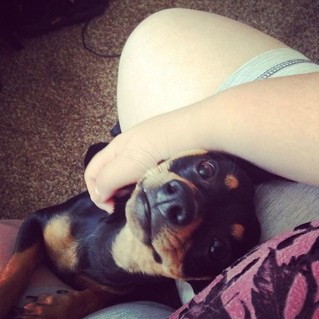 Hunter loves his mama! Mommynbaby Hunter Minpin Chihuahua terriermix myson mybaby mymonster littleman smile dogsmile grin