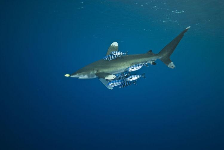 Oceanic white tip shark Carcharhinus Longimanus Nature Ocean Oceanic Oceanic Shark Oceanic White Tip Shark Pilotfish Red Sea Sea Life Surface UnderSea Underwater Water