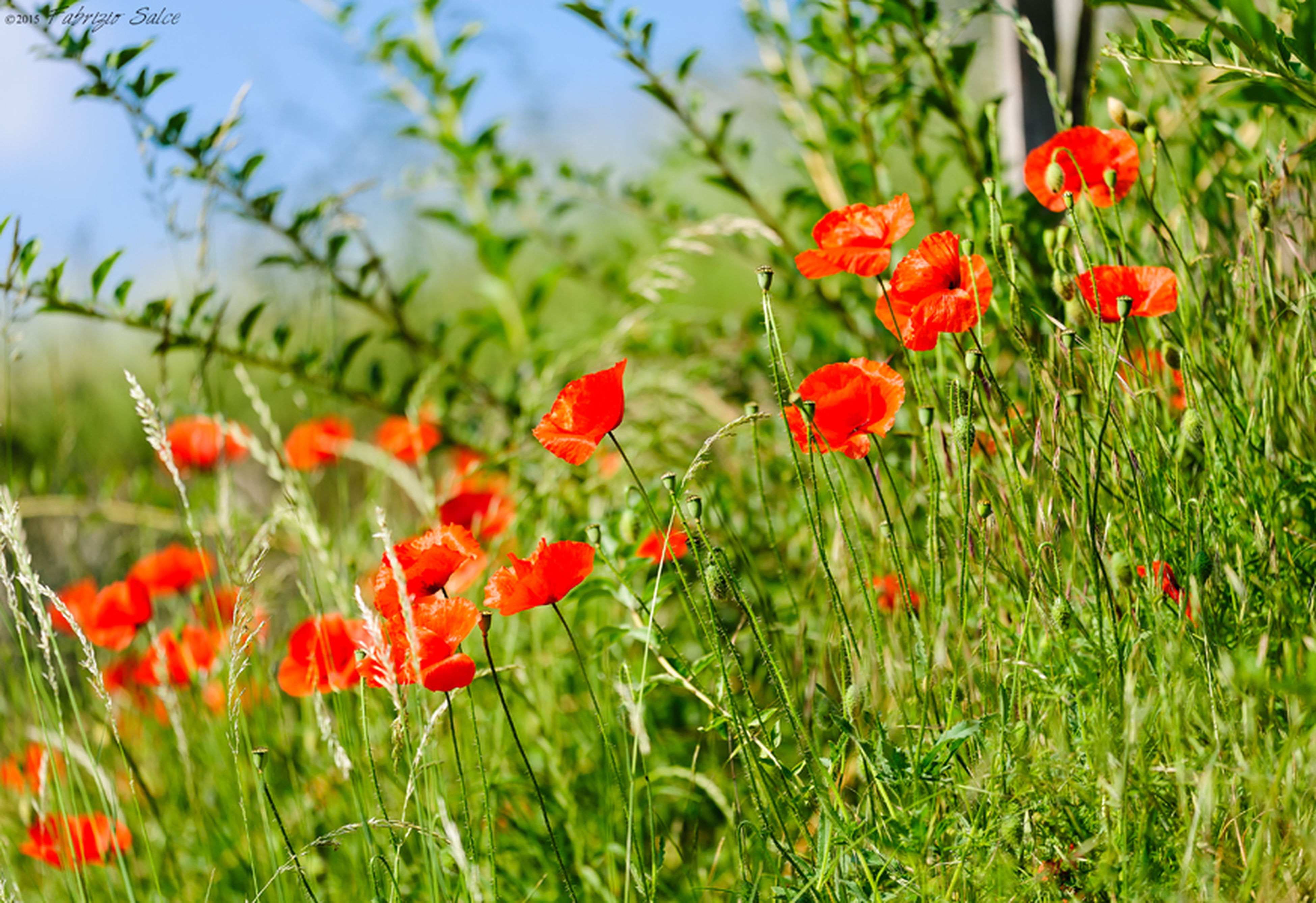 flower, red, growth, fragility, freshness, poppy, beauty in nature, petal, in bloom, field, nature, springtime, vibrant color, selective focus, wildflower, plant, blossom, flower head, focus on foreground, day, botany, uncultivated, scenics, blooming, outdoors, tranquility, green color, no people, non-urban scene