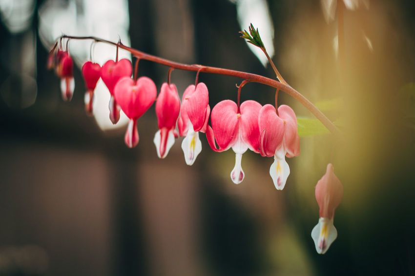 Heart flowers Beauty In Nature Blossom Canon Canon EOS 70D Close-up Countryside DSLR Flower Focus On Foreground Fragility Freshness Garden Garden Photography Growth Hanging Heart Heart Flower Hiding Natural Natural Beauty Nature No People Outdoors Pink Color