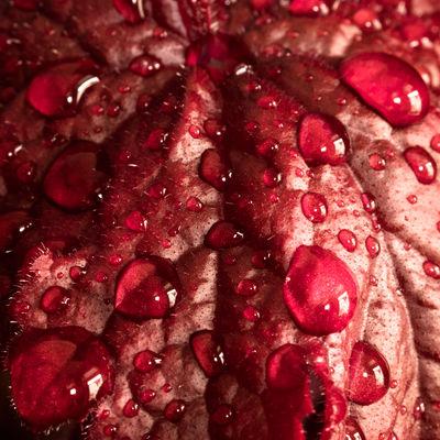 Rainy Spring Backgrounds Beauty In Nature Close-up Drops Fresh On Eyeem  Freshness Freshness FUJIFILM X-T2 Fujinon 60mm Full Frame Hair Leaf Macro Nature Rainy Days Rainy Weather Red Reflection Purpurblätchen Purpur
