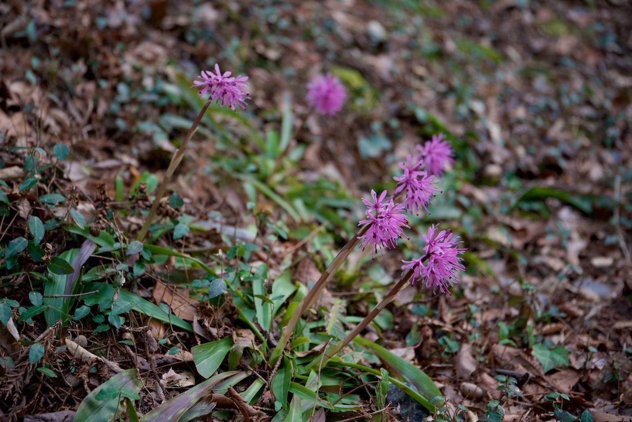 Beauty In Nature Close-up Flower Flower Head Fragility Freshness Heloniopsis Orientalis Nature Outdoors Pink Color Plant Purple Purple Flower ショウジョウバカマ 猩々袴
