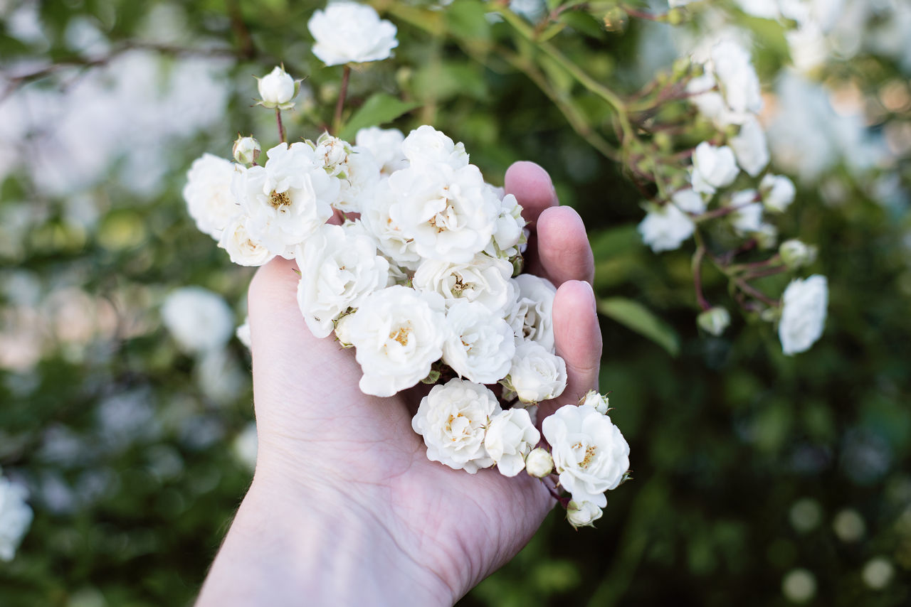Beauty In Nature Blossom Close-up Eco Ecology Flower Head Flowers Focus On Foreground Garden Gardening Hand Holding Human Hand Life Lifestyles Nature Outdoors Roses Touching Wedding White Color