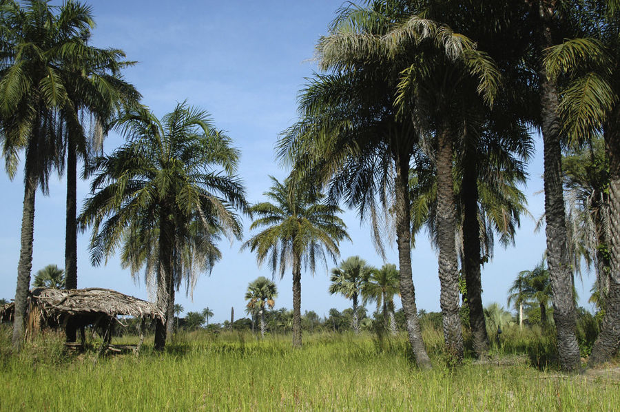 Niafrang Senegal Lala Palm Tree Niafarang Niafourang Niafrang Rice Rice Paddy West Africa Beauty In Nature Casamance Clear Sky Day Growth Hut Landscape Nature No People Outdoors Palm Tree Rice Field Scenics Senegal Shed Tranquil Scene Tranquility Tree