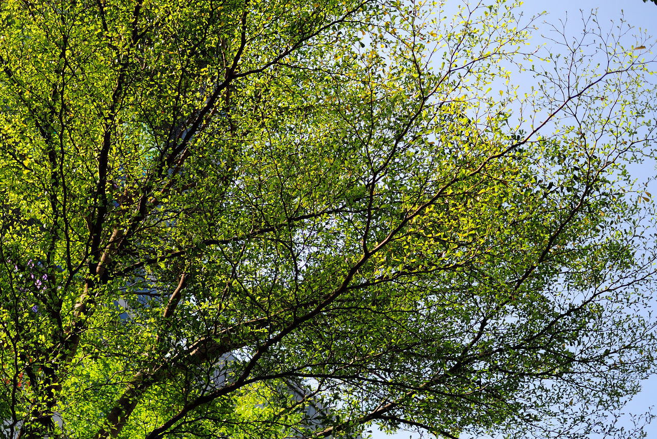 tree, low angle view, nature, branch, growth, beauty in nature, day, green color, forest, outdoors, leaf, no people, sky, freshness
