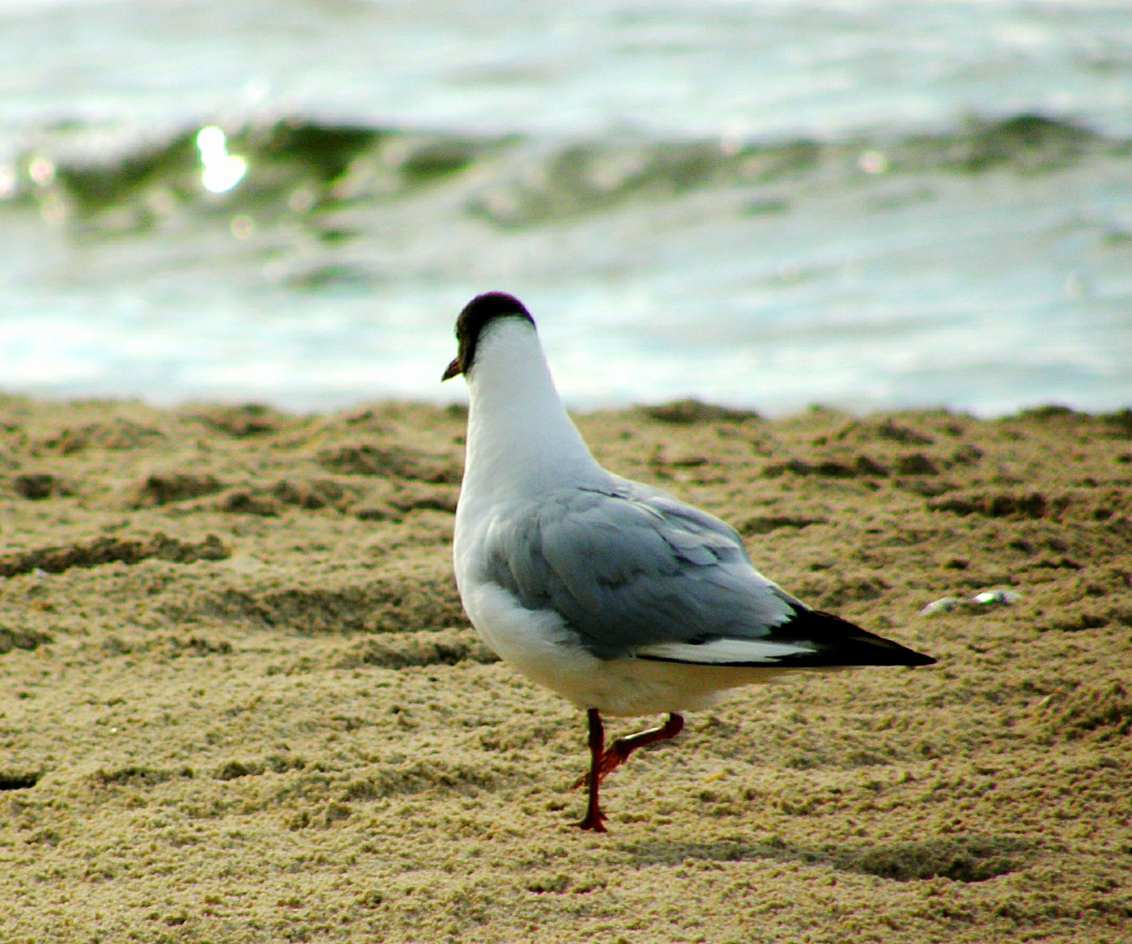 bird, animal themes, animals in the wild, wildlife, one animal, seagull, water, focus on foreground, sea, beach, nature, shore, beak, close-up, side view, full length, day, outdoors, sea bird, sand