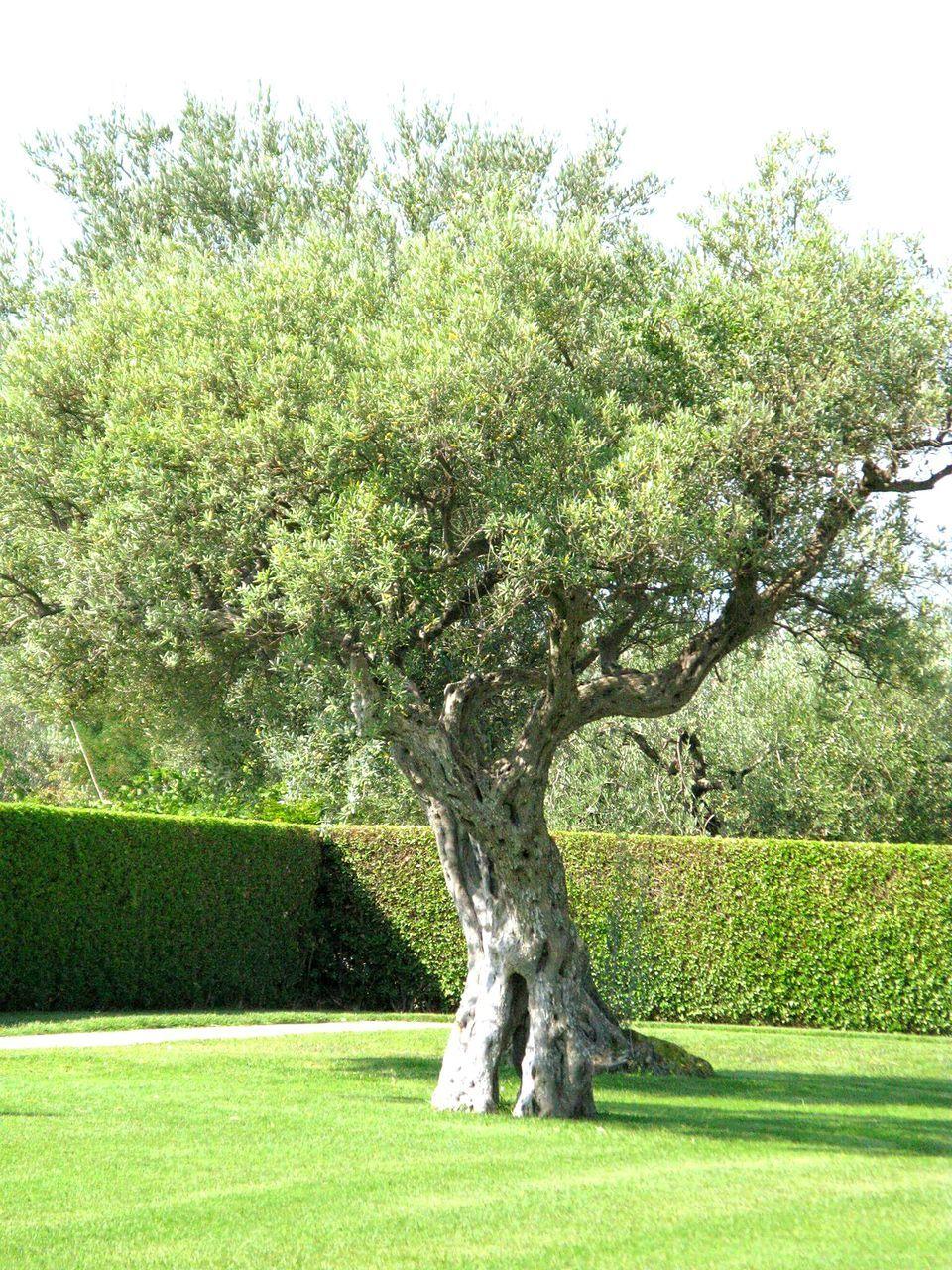 Tree Near Manicured Bush