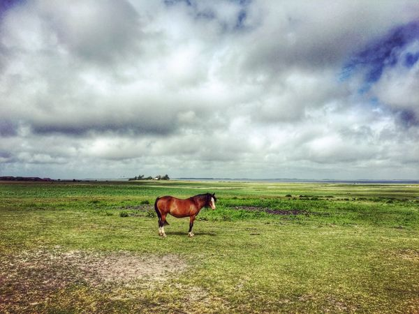 Field Animal Themes Horse Mammal One Animal Domestic Animals Sky Grass Cloud - Sky Landscape Nature Herbivorous Grazing Livestock Tranquil Scene Tranquility Horizon Over Land Day Cow Standing Sylt