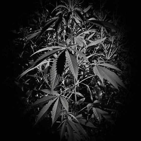 marihuana Marihuana MariHuana! ;) Marihuanaparatodos! Yerba Amariguanado Chefchaouen Marijuana