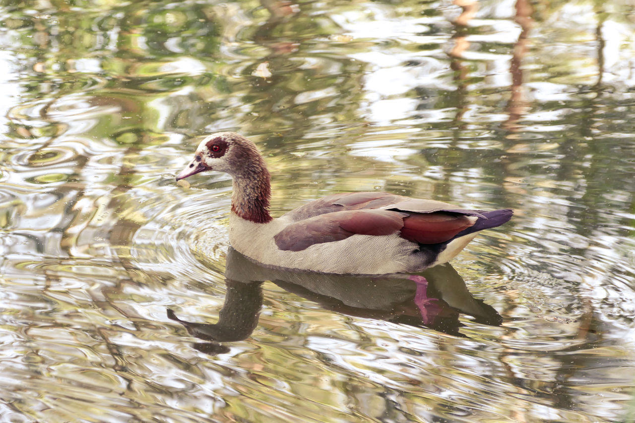 Animal Themes Animal Wildlife Animals In The Wild Bird Day Egyptian Goose Lake Nature No People Outdoors Reflections Reflections In The Water Swimming Water Water Bird