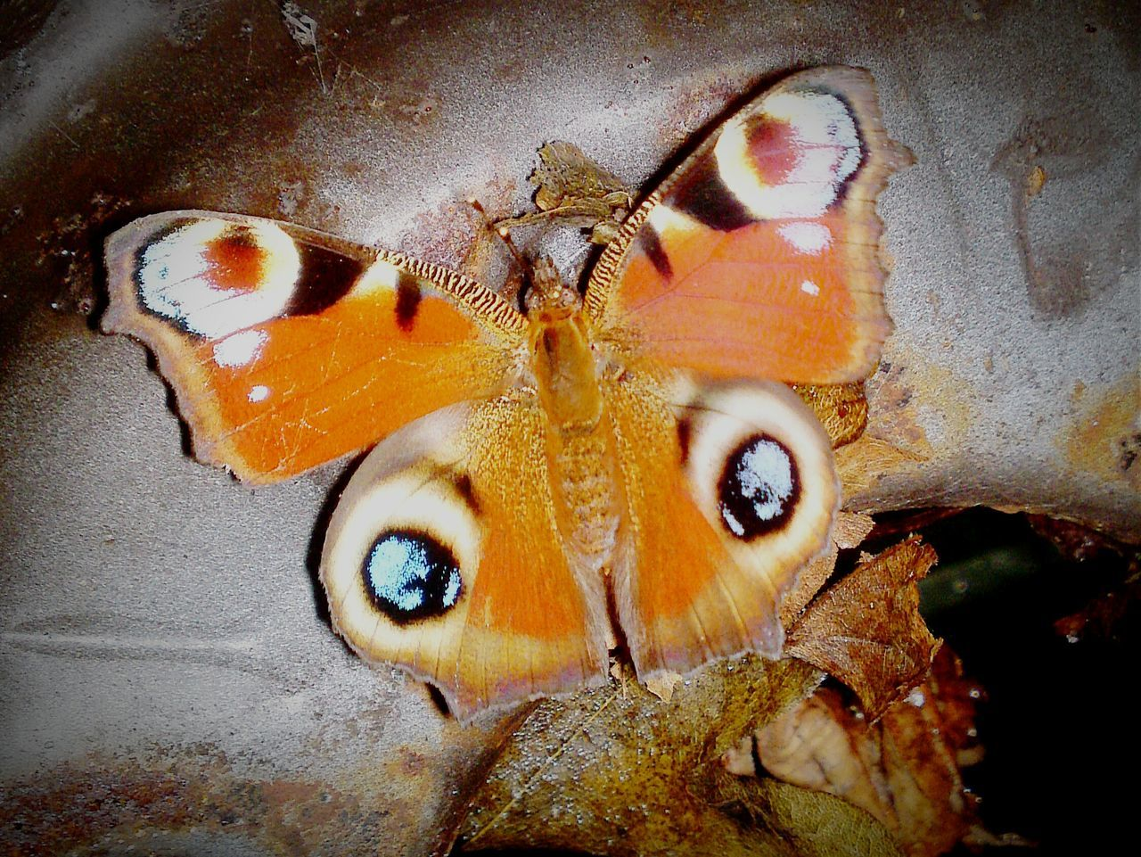 Close-Up Of Butterfly Perching On Rusty Metal