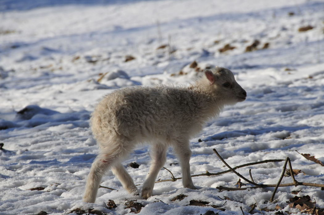 Animal Themes Animals In The Wild Baby Scha Baby Sheep Beauty In Nature Cold Temperature Day Field Mammal Nature No People One Animal Outdoors Schaf  Sheep Snow Weather Winter