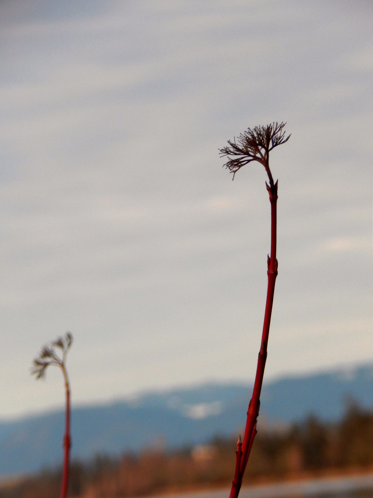 LIfe Beauty In Nature Brush Built Structure Close-up Cloud - Sky Dandelion Seed Day Flower Focus Focus On Foreground Forgotten Fragility Growth Life Lifestyles Minimalism MiniPlants Nature No People Outdoors Plant Red Sky Sprouting Sprouts