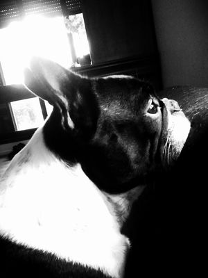 My French Bulldog <3 by aDreamAwake