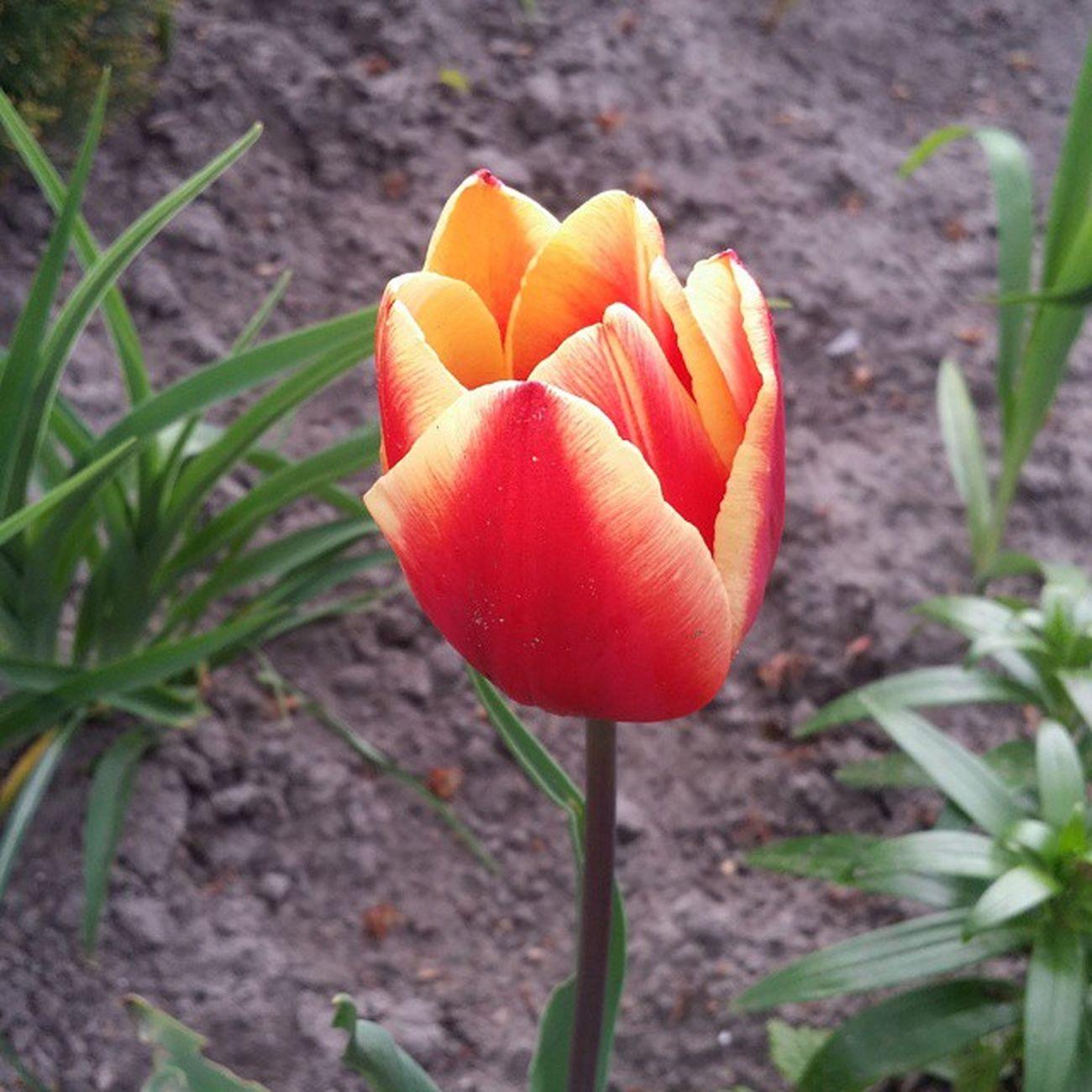 Kwiatki Tulipan Nature Green Flower Swag Pseudo Alone Wiosna L4l F4F Ect