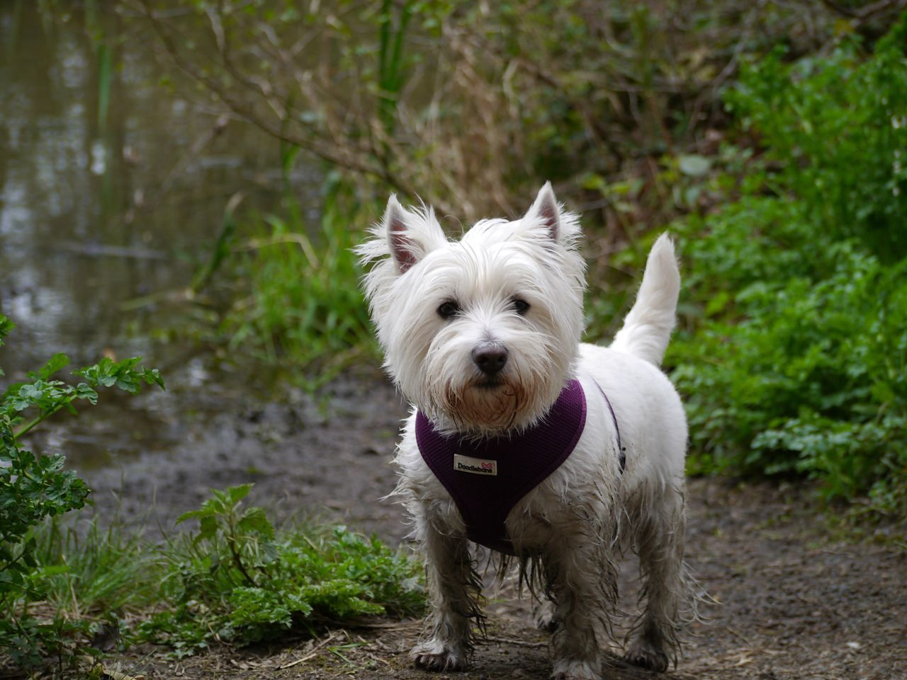 EyeEmNewHere Dog Pets West Highland White Terrier Domestic Animals One Animal Animal Themes Animal Hair No People Puppy Outdoors Day Mammal Happy Devon Beauty In Nature EyeEmNewHere
